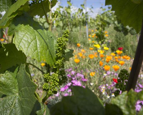 Flore et vigne