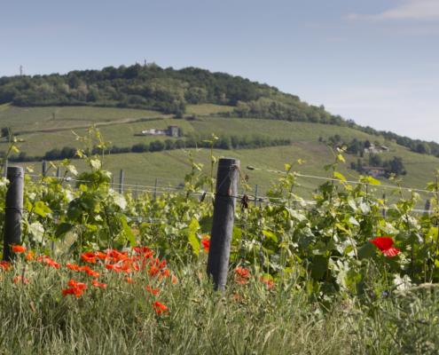 Mont Brouilly vignes et fleurs
