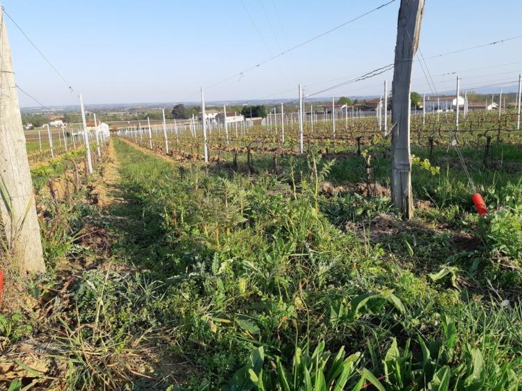 Semis avoine phacélie radis chinois trèfleS TREFLE